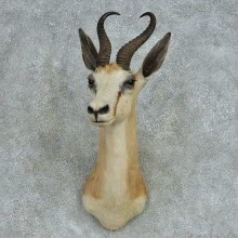 African Springbok Shoulder Mount #13479 For Sale @ The Taxidermy Store