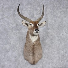 African Waterbuck Shoulder Taxidermy Mount #10638 For Sale @ The Taxidermy Store