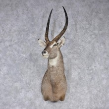 African Waterbuck Shoulder Taxidermy Mount #12546 for sale @ The Taxidermy Store