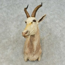 White Blesbok Shoulder Mount For Sale #16215 @ The Taxidermy Store