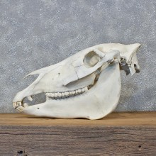 African Burchell's Zebra Skull Mount #10589 For Sale @ The Taxidermy Store