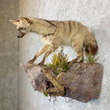 African Aardwolf Mount For Sale #23172 @ The Taxidermy Store