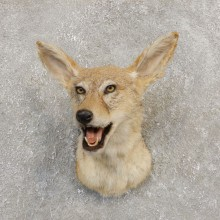 African Black-backed Jackal Mount #20283 For Sale @ The Taxidermy Store
