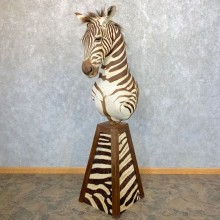 African Burchell's Zebra Pedestal Mount For Sale #23960 @ The Taxidermy Store