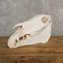 Burchell's Zebra Skull Taxidermy For Sale