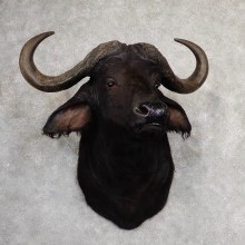 African Cape Buffalo Shoulder Mount For Sale #19051 @ The Taxidermy Store