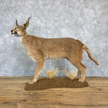 African Caracal Cat Life-Size Mount For Sale #23178 @ The Taxidermy Store