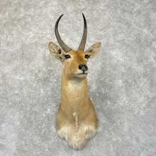 African Common Reedbuck Shoulder #24958 - The Taxidermy Store