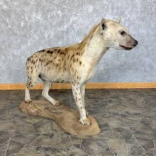 African Hyena Life-Size Taxidermy Mount #23442 For Sale @ The Taxidermy Store