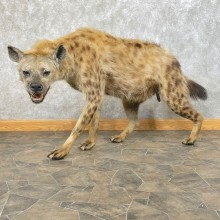 African Hyena Life-Size Taxidermy Mount #24201 For Sale @ The Taxidermy Store