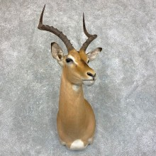 African Impala Shoulder Mount #22863 For Sale @ The Taxidermy Store
