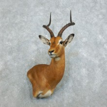 African Impala Shoulder Mount For Sale #18537 @ The Taxidermy Store