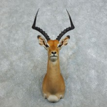 African Impala Shoulder Mount For Sale #18540 @ The Taxidermy Store