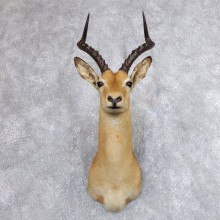 African Impala Shoulder Mount For Sale #18626 @The Taxidermy Store