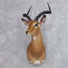 African Impala Shoulder Mount For Sale #18738 @ The Taxidermy Store