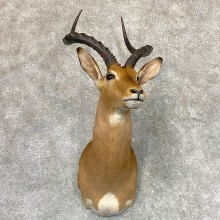 African Impala Shoulder Taxidermy Mount #22986 For Sale @ The Taxidermy Store