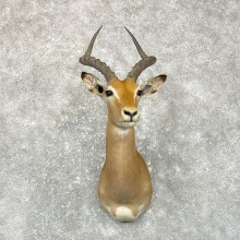 African Impala Shoulder Taxidermy Mount #24947 For Sale @ The Taxidermy Store