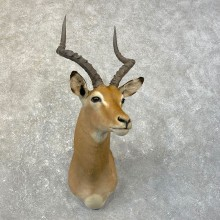 African Impala Shoulder Taxidermy Mount #25165 For Sale @ The Taxidermy Store