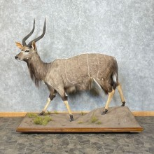 African Nyala Life-Size Taxidermy Mount #25295 For Sale @ The Taxidermy Store