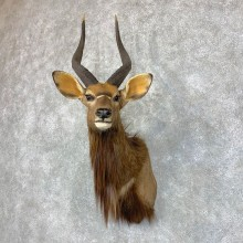 African Nyala Taxidermy Shoulder Mount #22848 For Sale @ The Taxidermy Store