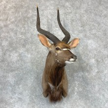 African Nyala Taxidermy Shoulder Mount #23397 For Sale @ The Taxidermy Store