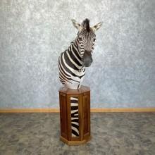 African Plains Zebra Pedestal Taxidermy Mount For Sale
