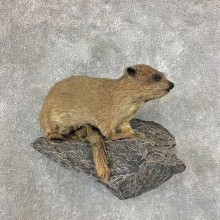 African Rock Hyrax Taxidermy Mount #21530 - The Taxidermy Store