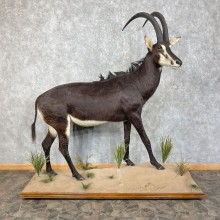 African Sable Life-Size Taxidermy Mount For Sale #25296 For Sale @ The Taxidermy Store