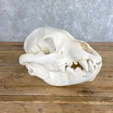 African Spotted Hyena Full Skull Taxidermy Mount #24205 For Sale @ The Taxidermy Store