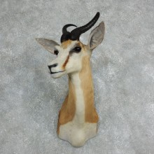 African Springbok Shoulder Mount For Sale #18059 @ The Taxidermy Store