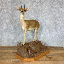 African Steinbok Life-Size Taxidermy Mount For Sale #22859 @ The Taxidermy Store