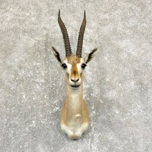 Thomson's Gazelle Taxidermy Shoulder Mount For Sale