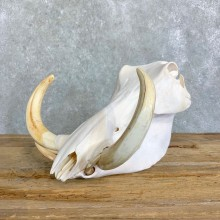 African Warthog Full Skull For Sale #22837 @ The Taxidermy Store