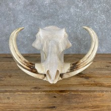 African Warthog Full Skull For Sale #24164 @ The Taxidermy Store