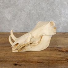 African Warthog Full Skull Mount #18548 For Sale @ The Taxidermy Store