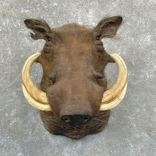 African Warthog Shoulder Mount For Sale #24951 @ The Taxidermy Store
