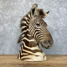 African Zebra Pedestal Mount For Sale #23932 @ The Taxidermy Store