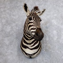African Zebra Shoulder Mount For Sale #18634 @ The Taxidermy Store