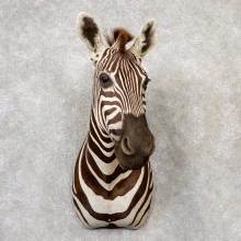 African Zebra Shoulder Mount For Sale #19157 @ The Taxidermy Store