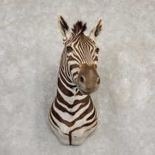 African Zebra Shoulder Mount For Sale #20299 @ The Taxidermy Store