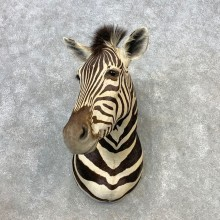African Zebra Shoulder Mount For Sale #21649 @ The Taxidermy Store