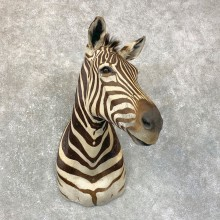 African Zebra Shoulder Mount For Sale #23868 @ The Taxidermy Store