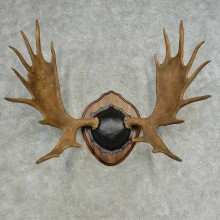 Western Canada Moose Antler Plaque For Sale #16616 @ The Taxidermy Store