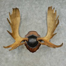 Western Canada Moose Antler Plaque For Sale #16617 @ The Taxidermy Store