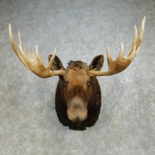 Alaskan Yukon Moose Shoulder Mount For Sale #14596 @ The Taxidermy Store