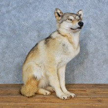 Alaskan Gray Wolf Mount For Sale #15439 @ The Taxidermy Store