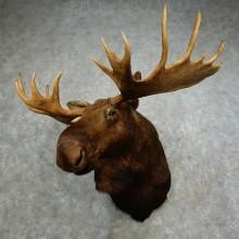 Alaskan Yukon Moose Shoulder Mount For Sale #16867 @ The Taxidermy Store