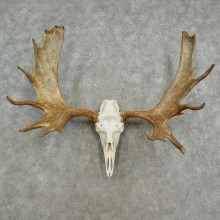 Alaskan Yukon Moose Skull European Mount For Sale #16958 @ The Taxidermy Store