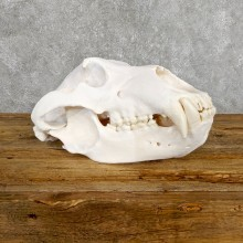 Alaskan Brown Bear Skull Mount For Sale #19480 @ The Taxidermy Store
