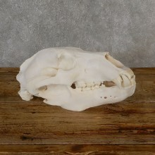 Alaskan Brown Bear Skull Mount For Sale #19270 @ The Taxidermy Store